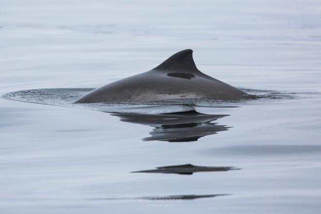 tumlare vid salthästen 4 mars