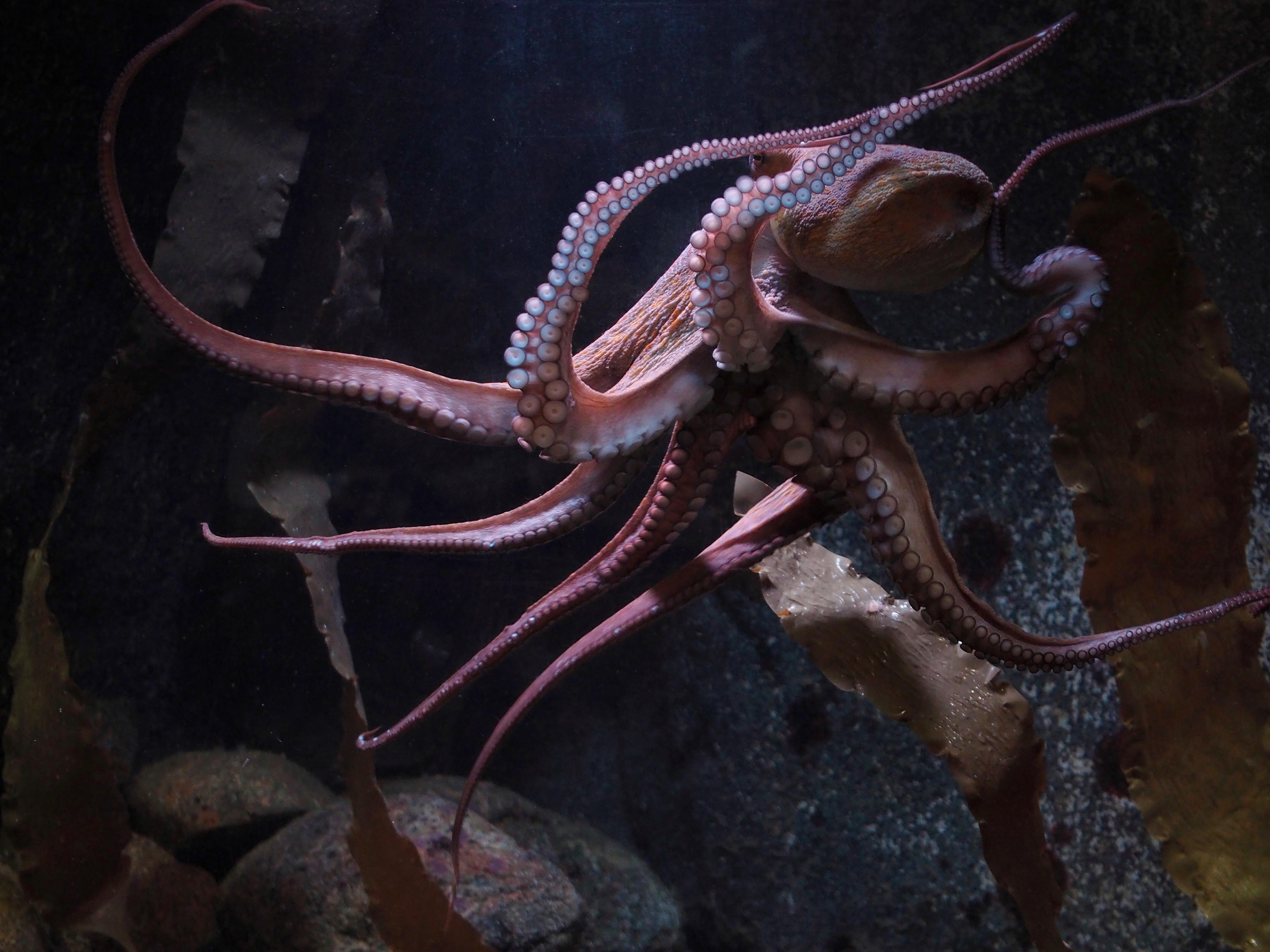 Octopus vulgaris foto Roger Jansson Havets Hus.jpg