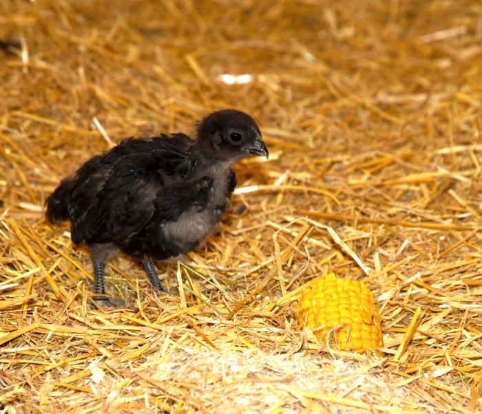 kyckling-bohuslan-dal-svarthonajenny-magnusson.jpg